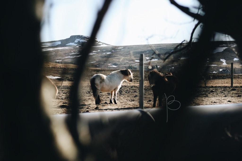 Stádo koní na pastvě.